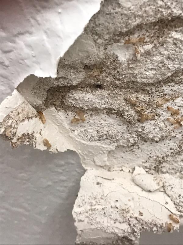 Live Termites